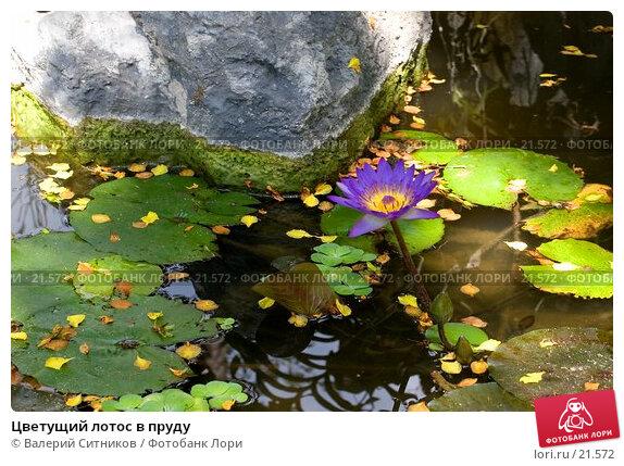 Цветущий лотос в пруду, фото № 21572, снято 12 февраля 2007 г. (c) Валерий Ситников / Фотобанк Лори
