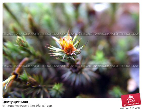 Цветущий мох, фото № 111468, снято 6 мая 2007 г. (c) Parmenov Pavel / Фотобанк Лори