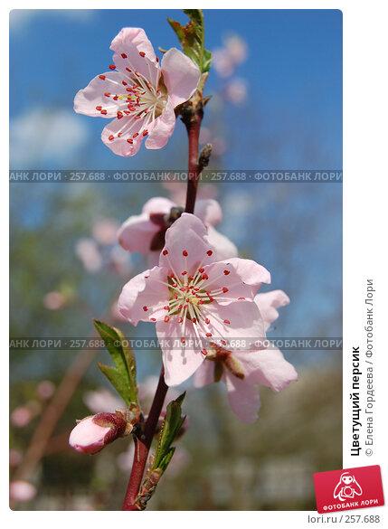 Купить «Цветущий персик», фото № 257688, снято 18 апреля 2008 г. (c) Елена Гордеева / Фотобанк Лори