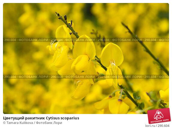 Цветущий ракитник Cytisus scoparius, фото № 290604, снято 18 мая 2008 г. (c) Tamara Kulikova / Фотобанк Лори