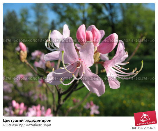 Цветущий рододендрон, фото № 293676, снято 17 мая 2008 г. (c) Заноза-Ру / Фотобанк Лори