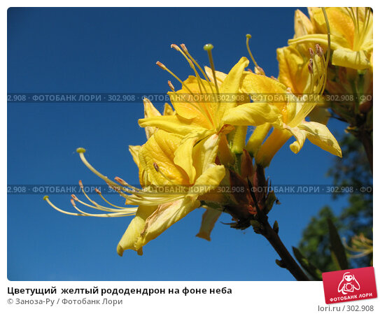 Цветущий  желтый рододендрон на фоне неба, фото № 302908, снято 24 мая 2008 г. (c) Заноза-Ру / Фотобанк Лори