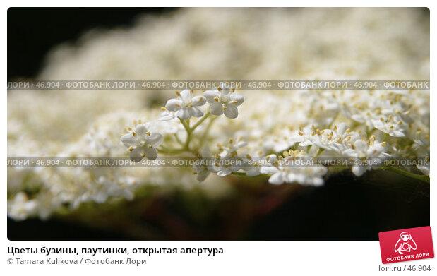 Цветы бузины, паутинки, открытая апертура, фото № 46904, снято 25 мая 2007 г. (c) Tamara Kulikova / Фотобанк Лори