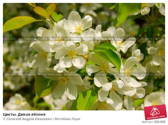 Цветы. Дикая яблоня, фото № 269068, снято 2 июня 2006 г. (c) Селигеев Андрей Иванович / Фотобанк Лори