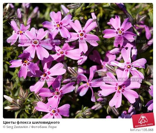 Цветы флокса шиловидного, фото № 135068, снято 31 мая 2006 г. (c) Serg Zastavkin / Фотобанк Лори