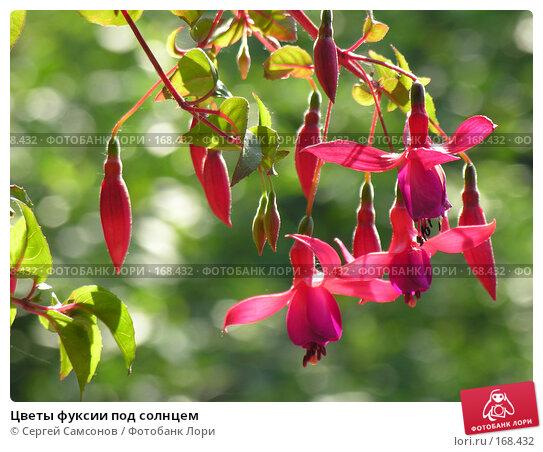 Цветы фуксии под солнцем, фото № 168432, снято 24 июня 2006 г. (c) Сергей Самсонов / Фотобанк Лори