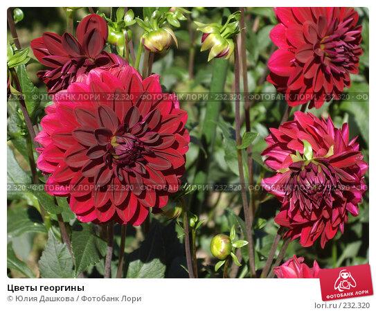 Цветы георгины, фото № 232320, снято 11 августа 2007 г. (c) Юлия Дашкова / Фотобанк Лори
