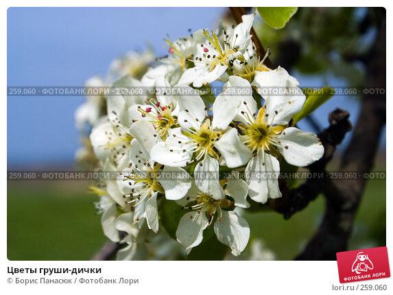 Цветы груши-дички, фото № 259060, снято 19 апреля 2008 г. (c) Борис Панасюк / Фотобанк Лори
