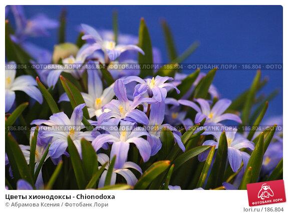 Цветы хионодоксы - Chionodoxa, фото № 186804, снято 28 апреля 2006 г. (c) Абрамова Ксения / Фотобанк Лори