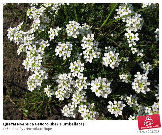 Цветы ибериса белого (Iberis umbellata), фото № 293728, снято 17 мая 2008 г. (c) Заноза-Ру / Фотобанк Лори