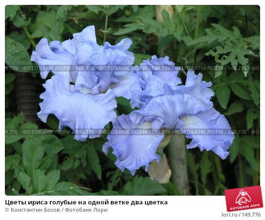 Цветы ириса голубые на одной ветке два цветка, фото № 149776, снято 31 мая 2005 г. (c) Константин Босов / Фотобанк Лори