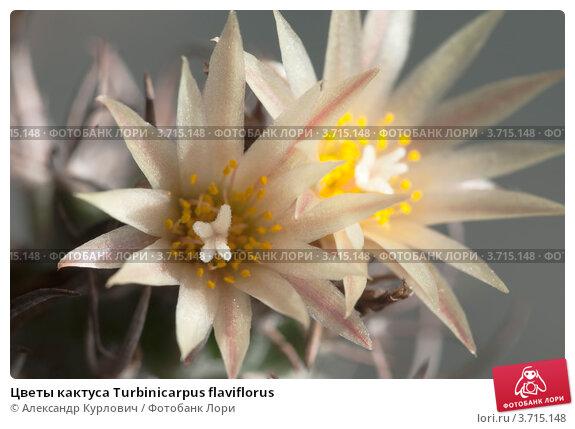 Купить «Цветы кактуса Turbinicarpus flaviflorus», фото № 3715148, снято 25 июля 2012 г. (c) Александр Курлович / Фотобанк Лори