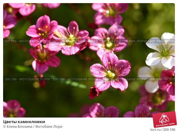 Цветы камнеломки, фото № 209196, снято 20 мая 2007 г. (c) Елена Блохина / Фотобанк Лори