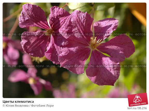Цветы клематиса, фото № 95216, снято 24 августа 2006 г. (c) Юлия Яковлева / Фотобанк Лори