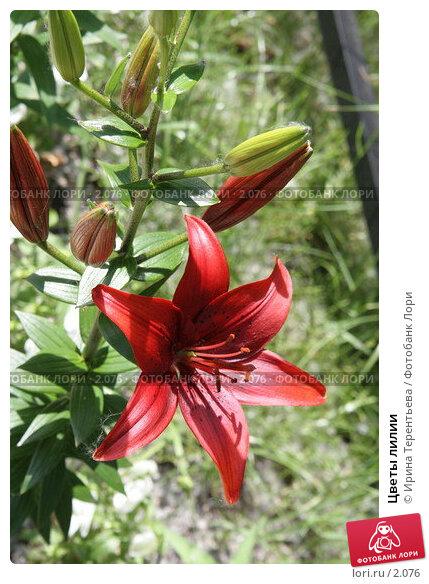 Купить «Цветы лилии», эксклюзивное фото № 2076, снято 16 июня 2005 г. (c) Ирина Терентьева / Фотобанк Лори