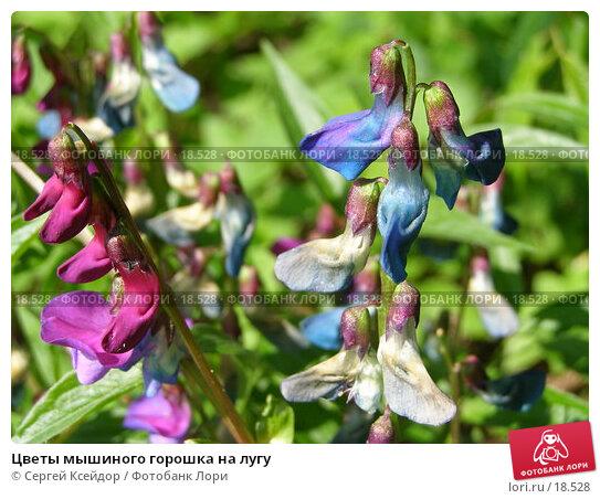 Цветы мышиного горошка на лугу, фото № 18528, снято 15 мая 2006 г. (c) Сергей Ксейдор / Фотобанк Лори