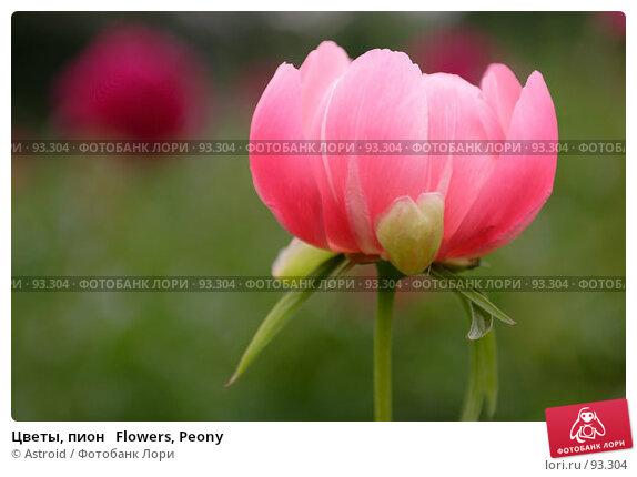 Купить «Цветы, пион   Flowers, Peony», фото № 93304, снято 14 июня 2005 г. (c) Astroid / Фотобанк Лори