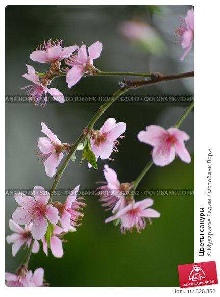 Цветы сакуры, фото № 320352, снято 12 марта 2008 г. (c) Мударисов Вадим / Фотобанк Лори