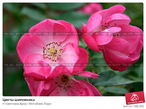 Цветы шиповника, фото № 166352, снято 7 октября 2006 г. (c) Светлана Архи / Фотобанк Лори