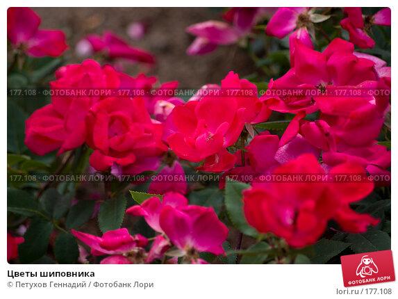 Цветы шиповника, фото № 177108, снято 30 июня 2007 г. (c) Петухов Геннадий / Фотобанк Лори