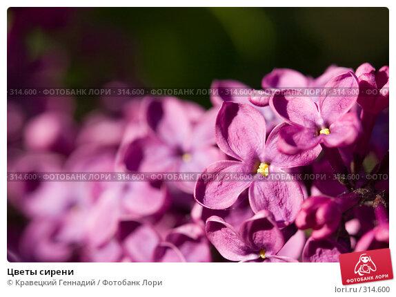 Купить «Цветы сирени», фото № 314600, снято 18 мая 2005 г. (c) Кравецкий Геннадий / Фотобанк Лори