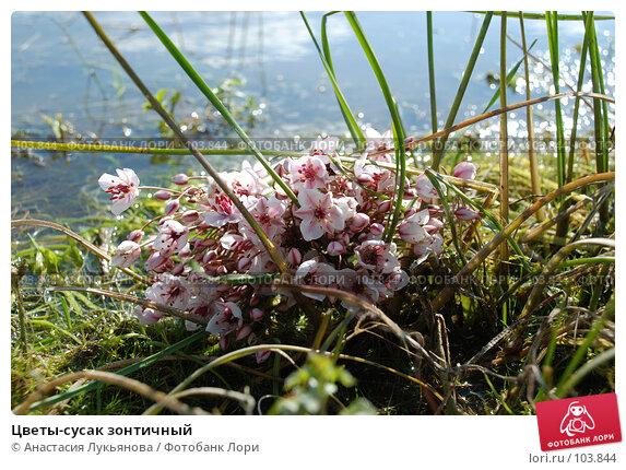 Цветы-сусак зонтичный, фото № 103844, снято 25 марта 2017 г. (c) Анастасия Лукьянова / Фотобанк Лори