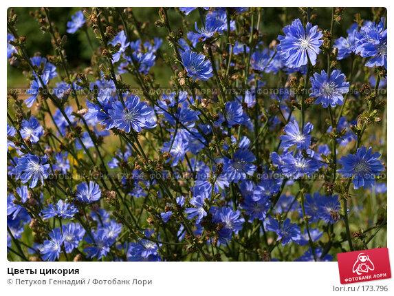 Цветы цикория, фото № 173796, снято 8 июля 2007 г. (c) Петухов Геннадий / Фотобанк Лори