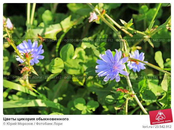 Купить цветы цикория купить садовые цветы со своего сада в москве и области