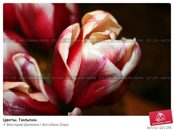 Цветы. Тюльпан., фото № 221276, снято 10 марта 2008 г. (c) Виктория Щепкина / Фотобанк Лори