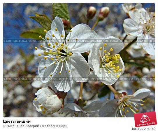 Цветы вишни, фото № 293180, снято 11 мая 2008 г. (c) Емельянов Валерий / Фотобанк Лори
