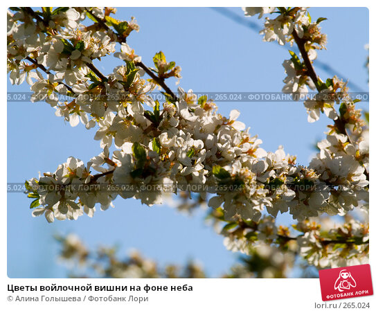 Цветы войлочной вишни на фоне неба, эксклюзивное фото № 265024, снято 27 апреля 2008 г. (c) Алина Голышева / Фотобанк Лори