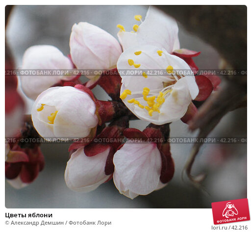 Цветы яблони, фото № 42216, снято 2 апреля 2006 г. (c) Александр Демшин / Фотобанк Лори