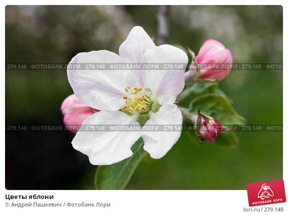 Цветы яблони, фото № 279148, снято 2 мая 2007 г. (c) Андрей Пашкевич / Фотобанк Лори