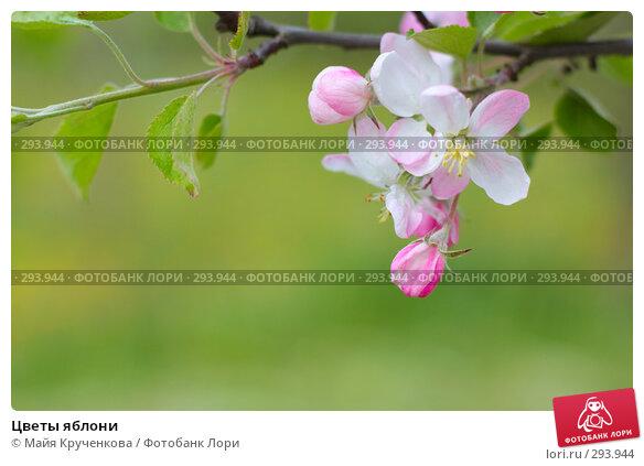 Цветы яблони, фото № 293944, снято 18 мая 2008 г. (c) Майя Крученкова / Фотобанк Лори