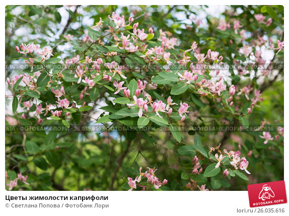 Цветы жимолости каприфоли, фото № 26035616, снято 13 июня 2014 г. (c) Светлана Попова / Фотобанк Лори