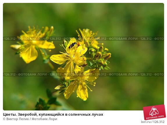 Цветы. Зверобой, купающийся в солнечных лучах, фото № 126312, снято 16 июня 2007 г. (c) Виктор Пелих / Фотобанк Лори