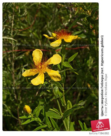 Цветы зверобоя Геблера (лат. Hypericum gebleri), фото № 184092, снято 2 августа 2007 г. (c) Олег Рубик / Фотобанк Лори