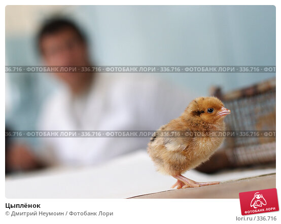 Цыплёнок, эксклюзивное фото № 336716, снято 17 августа 2006 г. (c) Дмитрий Неумоин / Фотобанк Лори