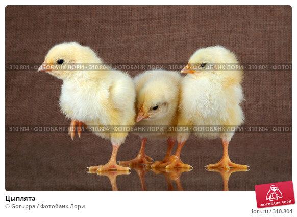 Цыплята, фото № 310804, снято 4 июня 2008 г. (c) Goruppa / Фотобанк Лори