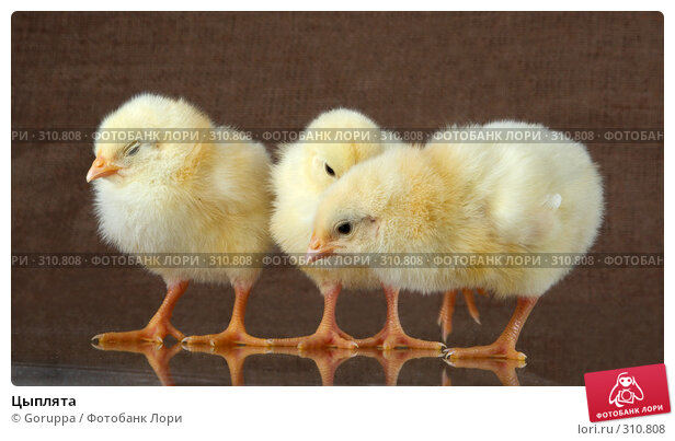 Цыплята, фото № 310808, снято 4 июня 2008 г. (c) Goruppa / Фотобанк Лори