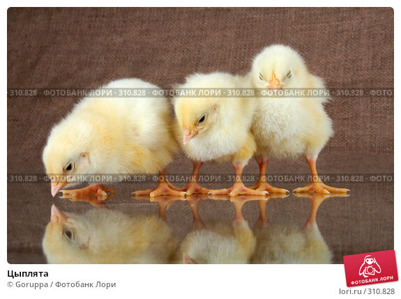 Цыплята, фото № 310828, снято 4 июня 2008 г. (c) Goruppa / Фотобанк Лори