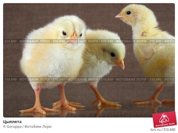 Цыплята, фото № 310840, снято 4 июня 2008 г. (c) Goruppa / Фотобанк Лори