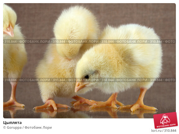 Цыплята, фото № 310844, снято 4 июня 2008 г. (c) Goruppa / Фотобанк Лори