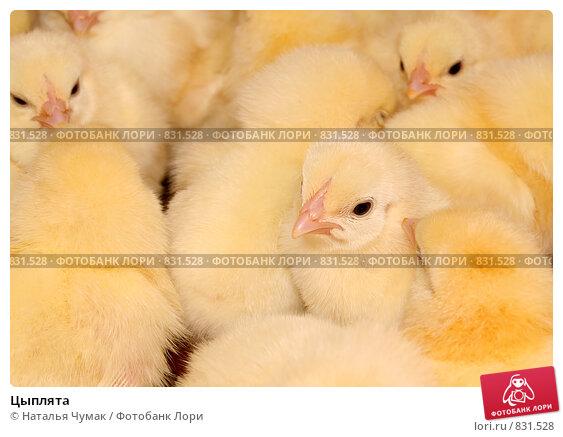 Купить «Цыплята», фото № 831528, снято 25 апреля 2009 г. (c) Наталья Чумак / Фотобанк Лори