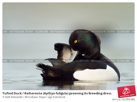 Tufted Duck / Reiherente (Aythya fuligula) preening its breeding dress. Стоковое фото, фотограф Ralf Kistowski / age Fotostock / Фотобанк Лори