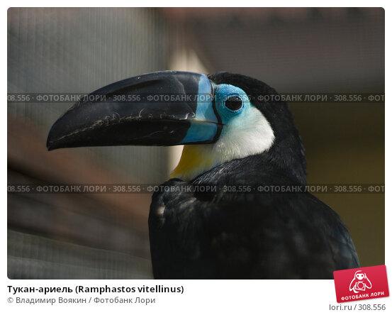 Тукан-ариель (Ramphastos vitellinus), фото № 308556, снято 17 мая 2008 г. (c) Владимир Воякин / Фотобанк Лори