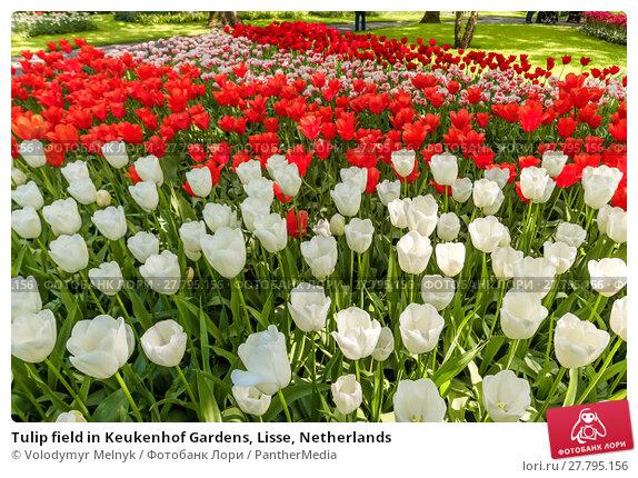 Купить «Tulip field in Keukenhof Gardens, Lisse, Netherlands», фото № 27795156, снято 18 февраля 2018 г. (c) PantherMedia / Фотобанк Лори