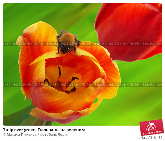 Tulip over green  Тюльпаны на зеленом, фото № 318432, снято 24 июня 2017 г. (c) Максим Пименов / Фотобанк Лори