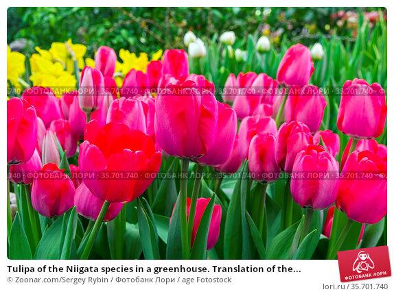 Tulipa of the Niigata species in a greenhouse. Translation of the... Стоковое фото, фотограф Zoonar.com/Sergey Rybin / age Fotostock / Фотобанк Лори