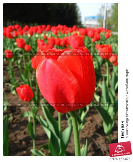 Тюльпан, фото № 37876, снято 27 мая 2017 г. (c) Александр Литовченко / Фотобанк Лори